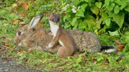 黄鼠狼为了迷惑兔子, 给兔子跳舞, 兔子就这么被叼走了