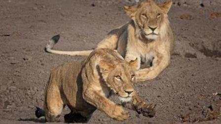 狮子在公路上捕杀老鹿, 迅雷不及掩耳之势!