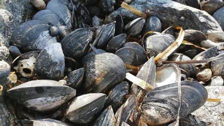 礁石上都是美味的黑贻贝, 住海边每天都能捡海鲜!