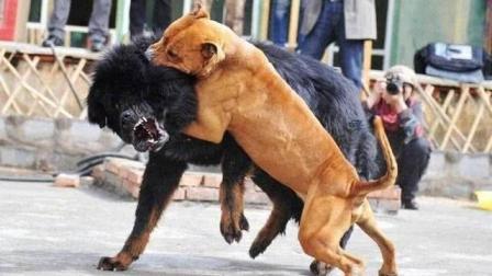 """世界上最""""凶猛""""的狗, 一旦把对手咬住绝不松口, 除非被击毙!"""