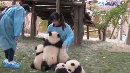 大熊猫宝宝就喜欢抱腿, 见一个抱一个, 拦都拦不住, 网友: 来抱我