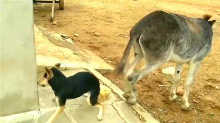 狗狗抢驴的食物, 遭驴一脚踢中脑门, 这些看你还敢不敢嘚瑟了