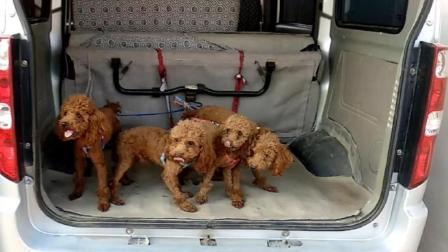 刘哥又买狗了, 这次一下子买了四只, 大家看看可爱不