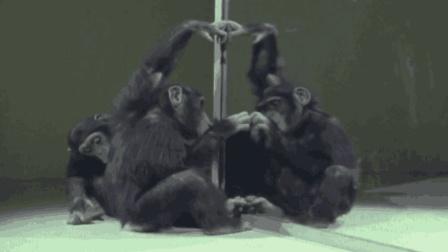 科学家真会玩: 只要一面镜子, 黑猩猩和人类智力差别就会变得模糊!