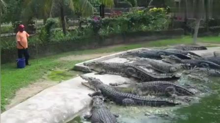 鳄鱼纷纷冲上岸, 饲养员胆子太大了!