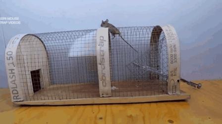 老外动手自制一个捕鼠笼, 一次能抓好几只, 太有才了