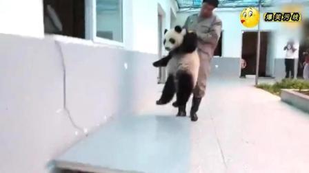 大熊猫拒绝称体重, 这回可真是把奶爸累坏了! 哈哈