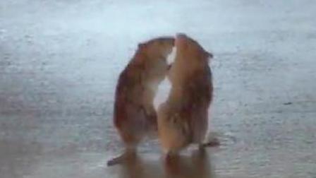 两只老鼠当街恶战, 殊死争斗, 浑然忘我, 不惧围