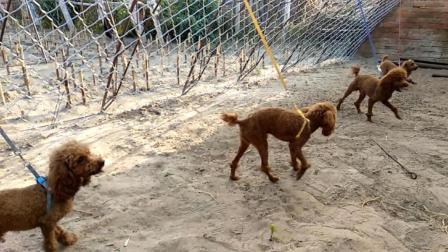 刘哥买回来的几只狗, 刚到家就显示出不一般了, 这几只狗买赚了