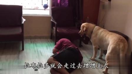 最没有攻击性的拉布拉多犬, 也是最会心疼主人的狗狗!