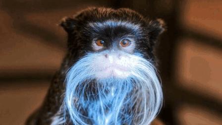 这种猴子都有一把大白胡子, 长得好猎奇, 十分罕
