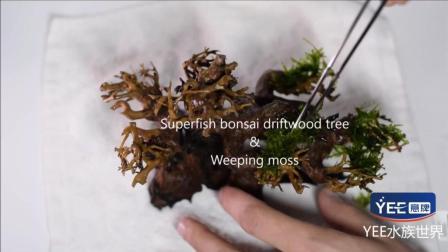 nano鱼缸造景——在小鱼缸中种一颗莫斯树