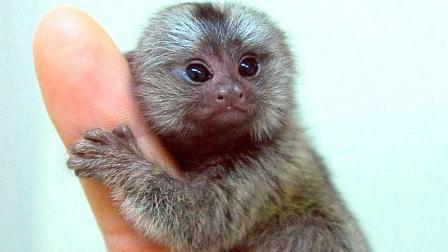 世界上最小的猴子, 新生猴只有蚕豆般大小, 被人称为拇指猴