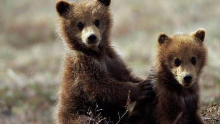 小熊贪吃掉队, 被饿狼算计, 这下母熊急了!