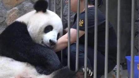 熊猫被游客欺负, 奶妈赶紧来安慰, 宝宝委屈了!