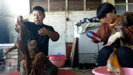 刘哥非常喜欢的四只泰迪, 现在他要卖掉它们, 这样做也是为了它们好