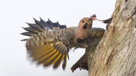 啄木鸟本想除虫子, 没想到遇到了个大虫子