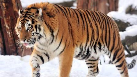 终极猛兽的死亡搏杀, 凶恶东北虎决战暴怒无比的恐怖大棕熊