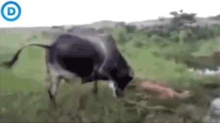 小牛被巨蟒缠死了, 牛妈妈哭了, 发起猛烈攻击