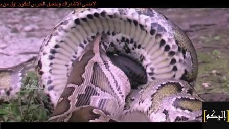 巨蛇与巨鳄为生存相争, 一场惨烈厮杀