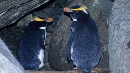 企鹅不光是一妻一夫制, 他们繁殖是会住在洞穴里