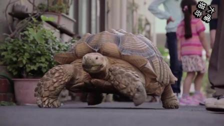日本大叔火了, 在路上遛龟被称作最有耐心的人, 成网红天天被围观