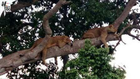 """满树挂""""大喵"""" 乌干达狮子一家挤枝头午睡"""