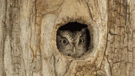 猫头鹰刚把一只鹦鹉拖进洞, 豹子就悄悄来抄家, 镜头拍下全过程