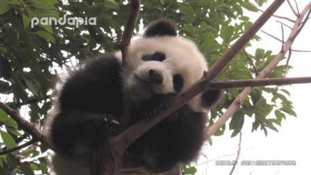 大熊猫: 镜头捕捉到一只山中灵兽!