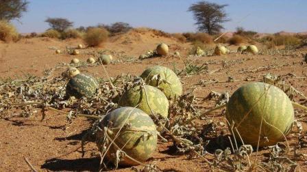 """为什么在沙漠里面看到""""大西瓜""""碰都不能碰? 看完真的要留意了"""
