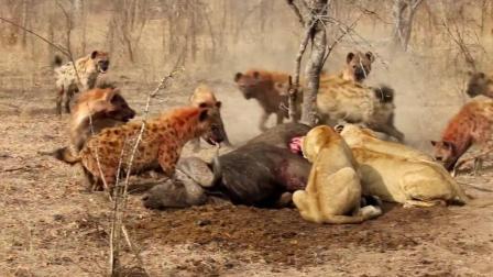 母狮深夜被鬣狗群包围 绝望之余 一头雄狮赶来英