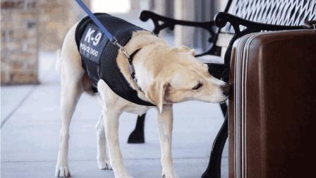 最难成为警犬的3种狗狗, 第一太温柔, 最后一个容易和敌人达成共识!
