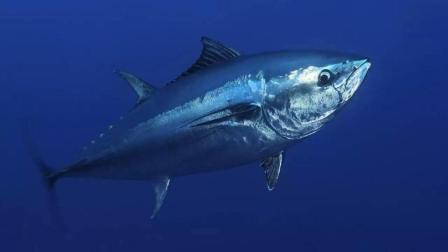 它被称为鱼中钻石, 做为顶级的刺身食材, 为什么