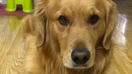 主人拍下金毛打呼噜的视频, 拿给金毛看, 结果狗狗直接给关了!