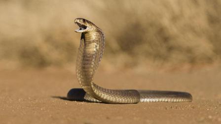 男子在农村老家抓到一条12斤的眼镜蛇, 都长胡子
