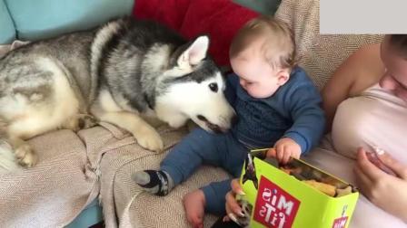 看到小主人手里有饼干, 哈士奇装萌讨好小宝宝