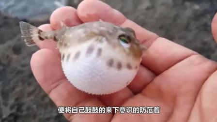 男子在河边钓鱼, 顺手一摸摸到一个球, 这么萌的河豚你见过吗