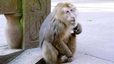 这猴子太贱了, 跟狗打架全是用些下三滥的