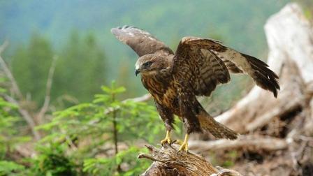 这货胆真大, 敢掏老鹰的窝 没被老鹰叨死真是万