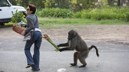 南非一只狒狒当街抢美女的食物, 厉害了!