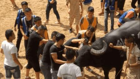 乡村斗牛: 牛王突然出现牛角断裂迹象, 牛主紧急叫停弃权认输