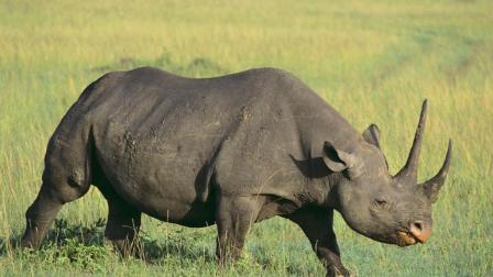 你不会相信犀牛在晚上会做什么