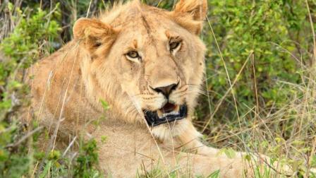 年轻狮子王的崛起, 大战鬣狗, 斩杀猎豹, 最后挑