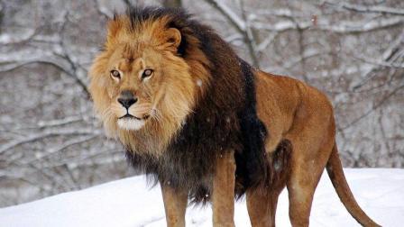 年轻狮子胆大妄为攻击水牛与河马 如果不是狮群