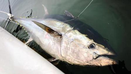 价值450万的蓝鳍金枪鱼被中国钓友狂拉出水, 瞬间变百万富翁