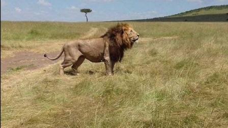 这么大的雄狮都成了他的宠物, 牛人到底是怎样的