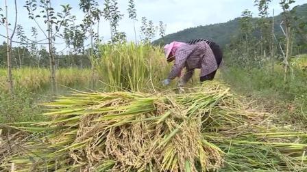 特色农业:推广立体农业种植模式,水稻旱地套种喜获丰收