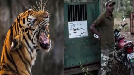 印度母老虎咬死13人警方决定喷香水抓老虎