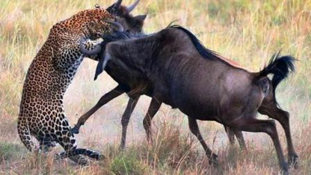 猎豹捕猎角马, 角马单枪匹马奋力反击, 战况扭转猎豹懵圈了!