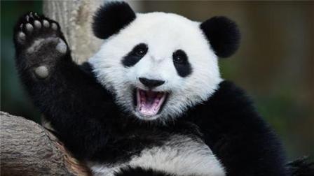 """这只大熊猫被国外含泪""""退货"""", 到底怎么回事?"""